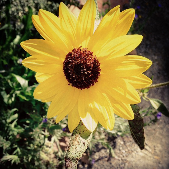 Sunflower at Denver Botanic Gardens